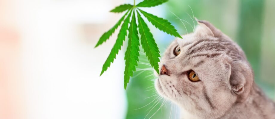 Cat CBD: What to Know About CBD for Cats