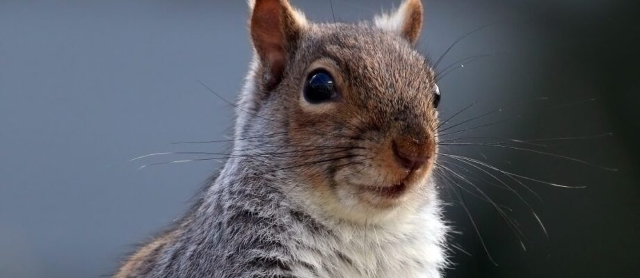 Squirrel Infestation Signs and Ways to Get Rid of Them